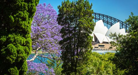 Jacarandas in bloom in Sydney. View from the Royal Botanic Garden, Sydney